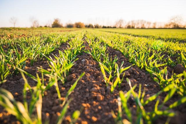 Jak zwiększyć skuteczność oprysków z fungicydów